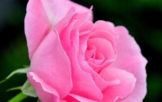 Rose Day